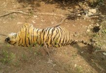 -Death-of-Tiger-in-Rattapani-Sanctuary-both-paws-were-cut