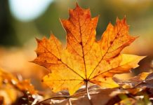 -Municipal-corporation-will-now-make-'golden-leaves'-compost