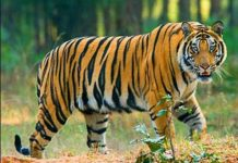 kamal-nath-government-will-made-ratapani-sanctuary-into-tiger-reserve