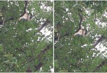 a-men-climb-on-a-tree-in-front-of-vidhansabha-