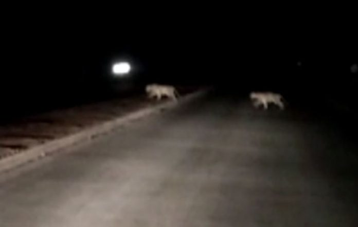 3-tigers-spotted-in-human-populated-area-in-seoni-