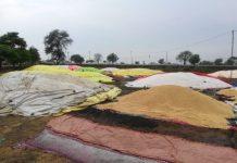 heavy-rainfall-ruined-grains-in-jabalpur