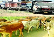The-new-policy-made-by-the-state-government-for-the-transport-of-cow
