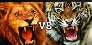 tiger-and-lion-fight-in-politics-ground-of-madhya-pradesh-