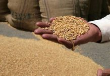 bad-quality-wheat-procurement-in-katni
