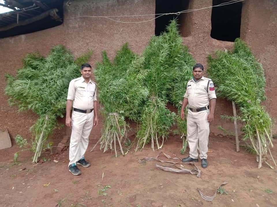 गांजे की अवैध खेती करने के आरोप में 3 गिरफ्तार, 8 लाख के हरे पौधे बरामद